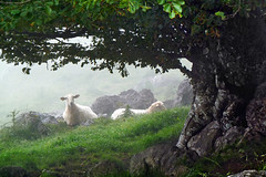 Sheep in the fog (Mikel Martnez de Osaba) Tags: morning mist mountain tree green wet misty fog landscape haze spain sheep farm farming spanish pasture hazy pastoral basque basquecountry oggy