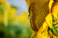 Bee and Sunflower at Nishime (Moonie's World) Tags: summer plant flower nature yellow japan bright sunny bee sunflower daytime akita tohoku pollinating nishime stockcategories fotopedia leicadgmacroelmarit45f28