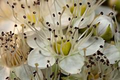 Physcocarpus opulifolius (Orthotrichum) Tags: rosaceae ninebark physcocarpus