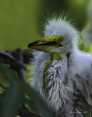 Great Egret Chick (stan hope) Tags: morning usa nature birds florida wildlife chick swamp egret greategret nesting floridawildlife wadingbirds nestingbirds specanimal nikond7000