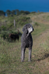 Sniffing Out a Bargain (jimheid) Tags: sophie poodle furryfriday 135mm standardpoodle