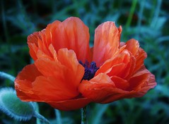poppies 043 (cellocarrots) Tags: poppies