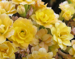 """150/365: Kalanchoe 2013-05-30 (George (Patti) Larcher (333K Views - Thank you!)) Tags: nature beauty feast for all with shot you or year captured el best your kalanchoe leap mundo por yellowflowers ii"""" house"""" dabba – gardencenter photos"""" day"""" """"art pictures"""" """"best friends"""" """"a """"flickr shot"""" """"give """"colors colors"""" a photography"""" returners images"""" eyes"""""""" """"catchy """"photos """"group """"project today"""" """"365 want"""" 365"""" less"""" experience"""" pic"""" """"perfect doo"""" """"click """"2012 """"distinguished everyone"""" """"365around """"3662012 """"click"""" 3662012"""" """"yabba montera"""""""