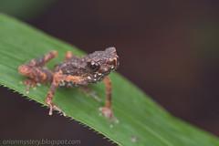 Pelophryne signata IMG_6194 copy (Kurt (OrionHerpAdventure.com)) Tags: amphibian frog toad herp herps herpetology amphibia bufonida
