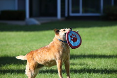IMG_0626: Midair Catch (i_am_lee_sam) Tags: red dog senior cattle australian heeler acd adoptable ziva