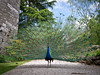 Photo of Peacock at Ruthin Castle