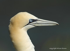 An Old Friend (alison brown 35 trying to get back) Tags: uk sea wild portrait bird nature bill spring wildlife yorkshire ngc beak feathers may cliffs east npc northern 2012 gannet rspb bempton