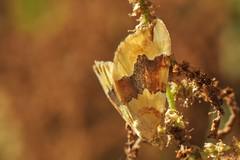 Cidaria fulvata (LisaOlsson) Tags: yellow moth gul nattfjäril barredyellow mätare cidariafulvata fältmätare citrongulfältmätare
