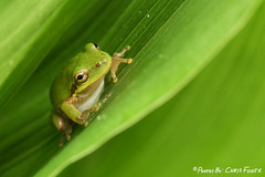 Green Treefrog (ChrisF_2011) Tags: green frog treefrog