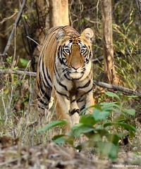 Tiger Head On (Safique) Tags: india nature vertical female forest photography eyecontact stripes bigcat maharashtra predator inquisitive pantheratigris headon felidae animaltheme royalbengaltiger tadobaandharitigerreserve