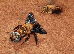 Big, little male and female_9321 (LindaRo2011) Tags: bees carnarvon dawsonsbees