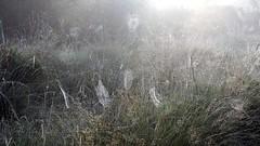 Taunasse Spinnennetze; Tetenhusener Moor (7) (Chironius) Tags: morning fog sunrise germany deutschland dawn wasser nebel alba pantano amanecer peat swamp bottoms alemania marsh dmmerung moor bog marais sonnenaufgang allemagne morgen niebla brouillard germania ochtend schleswigholstein sump matin  morgens zonsopgang mattina aube ogie sumpf pomie morgendmmerung morgengrauen niemcy dageraad  tourbire    turbera pomienie marcageuse szlezwigholsztyn