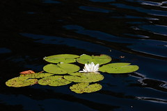 Water lily (schoeband) Tags: lake waterlily sweden schweden sverige tiveden rebroln tivedensnationalpark stgddsjn