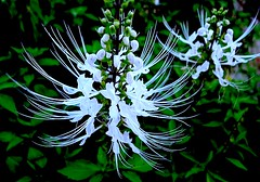 Cat's Whiskers (love_child_kyoto) Tags: masterphotos artisticflowers マスター写真 takenwithhardwork lovelynewflickr pandaonflickr