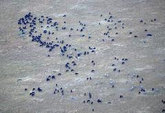DSC_8390 (H Sinica) Tags: balloon safari hotairballoon wildebeest masaimara maasaimara 气球 牛羚 肯亞 肯尼亚 马赛马拉