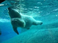 Aqua (Carleigh_Reynolds) Tags: bear blue toronto nature water animals swimming swim zoo cool underwater angle quality under polarbear artsy polar torontozoo