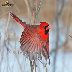 Little Red (JRIDLEY1) Tags: winter red cardinaliscardinalis northerncardinal brightonmi jridley1 jimridley cardinalflying northerncardinalflying httpwwwjimridleyphotographycom photocontesttnc13