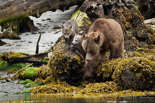 Grizzly Bear - Female and Cubs