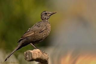 Melro-preto | Turdus merula | Common blackbird (Juv)