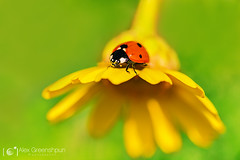 Summer's Lady (alexgphoto) Tags: red summer plant flower colour macro cute green nature colors beauty sunshine animals yellow lady canon bug season insect wonder happy flora colorful dof bokeh magic small joy perspective 100mm depthoffield growth tiny daisy ladybird ladybug delicate fragile tender invertebrates shallowdof primelens bokehlicious bokehoftheday