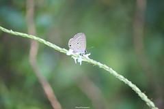 Plains Cupid (SujithPhotography) Tags: bird kerala cupid plains sanctuary kumarakom