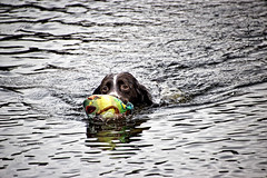 I've got the ball (tootdood) Tags: dog pet water animals swimming ball spaniel canon600d newislingtonmarina