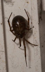 """False Widow Spider • <a style=""""font-size:0.8em;"""" href=""""http://www.flickr.com/photos/57024565@N00/10577952505/"""" target=""""_blank"""">View on Flickr</a>"""