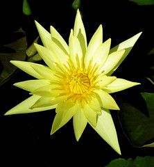 """St Louis Gold"" (Puzzler4879) Tags: yellow gardens waterlilies botanicalgardens longwoodgardens yellowflowers pointshoot nymphaea publicgardens canonpowershot canondigital canonaseries canonphotography canonpointshoot a580 yellowwaterlilies nymphaeastlouisgold canona580 canonpowershota580 powershota580 yellownymphaea dayfloweringwaterlilies"