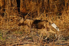 DSC_5447 (Arno Meintjes Wildlife) Tags: africa dog animal southafrica wildlife safari endangered predator krugerpark africanwilddog wilddog lycaonpictus spotteddog wildehond arnomeintjes