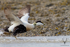 Take Off (James Shooter) Tags: summer blur male scotland flying duck aberdeenshire flight may nobody estuary lowtide splash flapping sideview eider lowperspective somateriamollissima oneanimal ukwildlife ythanestuary