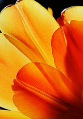 Orange Petals (Read2me) Tags: orange petal flower tulip backlight abstract thechallengefactory gamewinner pregamewinnersweep thumbsup gamex2winner x2 pregameduelwinner friendlychallenges challengeclubwinner pog herowinner superherochallengewinner yourockwinner yourockunanimous storybookwinner otr agcgwinner ultraherowinner flickrchallengewinner challengeyouwinner ultimate grind bigmomma gamex3winner x3 perpetualchallengewinner