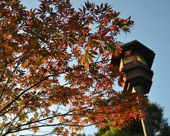 RieShintani_RedJapaneseMapleLeaves_Culture