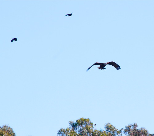 crows chasing bald eagle