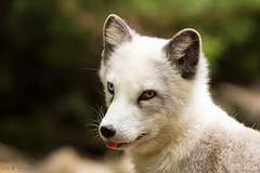 odd-eyed polar fox (Cloudtail the Snow Leopard) Tags: wildpark bad mergentheim tier animal säugetier mammal polar fuchs arktis fox vulpes lagopus kopf head portrait odd eye polarfuchsarktis cloudtailthesnowleopard