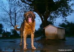 Rafeiro alentejano  chuva .. (AndreiaFMS) Tags: dog co rain animal night lngua chuva noite animais molhado rafeiroalentejano