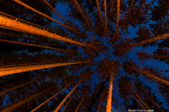 Orange Pines (kevin-palmer) Tags: november blue camping autumn trees sky orange fall up pine night forest stars fire illinois woods glow fullmoon campfire backpacking starry upward masoncounty forestcity samyang bc7 sandridgestateforest Astrometrydotnet:status=failed pentaxk5 bower14mmf28 Astrometrydotnet:id=nova214247