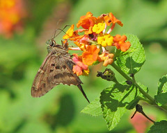 Long-tailed skipper (Proteus urbanus) - perched on lantana (Vicki's Nature) Tags: brown hot yard canon butterfly georgia colorful dof bokeh tail skipper lantana sweep lateral longtailedskipper gamewinner touchoforange touchofyellow 0140 favescontestwinner vickisnature faveswinner proteusurbanus gamesweep yourockgreen faves19 readymother gamedof readygamex2