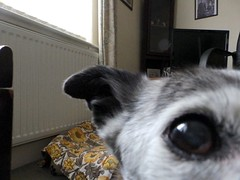 """""""Eye eye! More funds raised in lieu of my kennel fees for Invest in M.E.!"""" (Cardedfolderol) Tags: pet dogs fur canine mongrel dogsitting fundraisers dogsit whippetcross"""