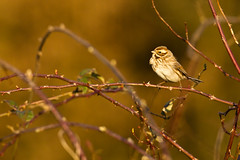 140305_11 (oneshotonepic) Tags: bird reed oiseau roseaux bunting bruant