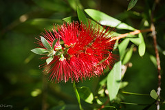 Maui Flower (garry.shepherd) Tags: flower hawaii unitedstates maui lahaina canonef100mmf28macro