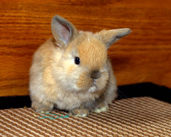 bunny2 (JamieDrakePhotos) Tags: rabbit bunny lapin hollandlop threeweeks rabbitkits