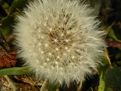 5-1-14 025 (LeeLee's pictures) Tags: 5114 mississippiriver woods nature dandelions yellow flower wildflower weeds makeawish white flyaway
