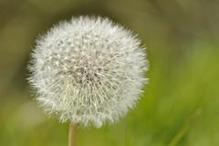 Fluffball (Chris Mullineux) Tags: plant flower nikon dandelion seeds seedhead mullineux