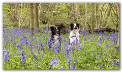 Playing in the woods (scoo_bert) Tags: blue pet bells nikon border collies d800 1635
