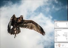 Commended Award (Kaibakorg) Tags: birds flight buzzard commended photocrowd kaibakorg