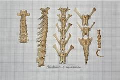 MountainHareVertebra (JRochester) Tags: mountain skeleton vertebra hare bone backbone lepus osteology timidus