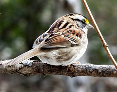 A White Throated Sparrow (zonotrchia albicolis) shows its feather pattern. (Gerald Barnett) Tags: winter usa brown bird art nature birds closeup rural outdoors illinois artistic bokeh availablelight ambientlight wildlife birding feathers tranquility naturallight aves calm serenity serene pajaro wintertime inspirational sparrows contemplative ornithology birdwatching oiseau tranquil avian vogel avis secluded uccello plumage artphoto na