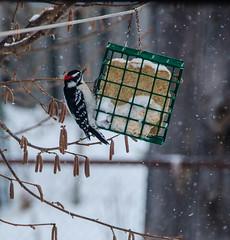 Downy Woodpecker on Line (jeffb477) Tags: winter snow toronto ontario canada bird nature birds outside backyard nikon outdoor canadian d7000