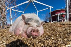 Down on the Farm (bigvern) Tags: pink 20d animal seine canon pig colorado brighton farm denver pork bigvern