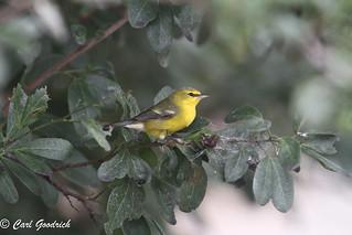 Blue-winged Warbler-5